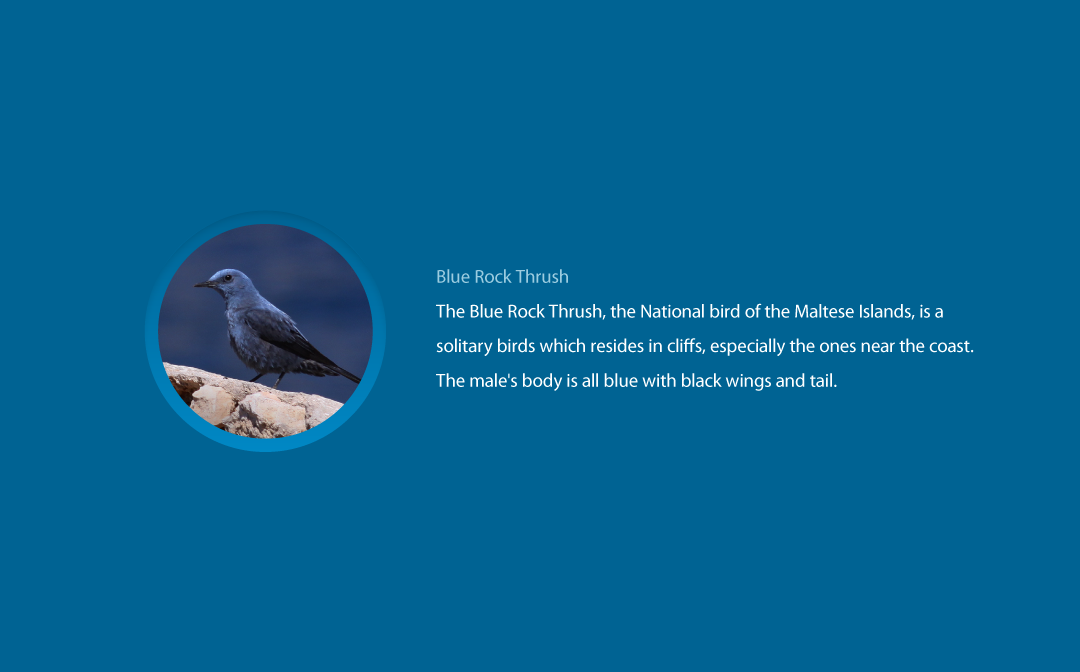 Blue Rock Thrush description